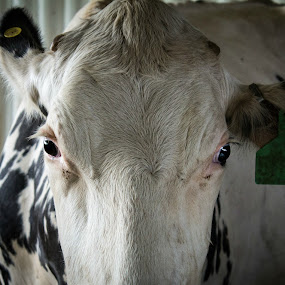Eat Mor Chikin by Mitch Lassiter - Animals Other Mammals ( farm, cow, dairy, eyes, north carolina )