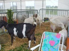 Photo: Inzending bonte geit van C. Sterk, Boergeiten van de Vor en witte geiten van J. Jonker.