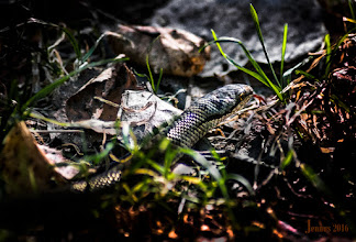 Photo: Glattnatter Viper Snake Naturfotos in der Galerie: https://goo.gl/01JpqY