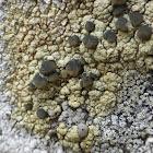 Alaskan Rim Lichen