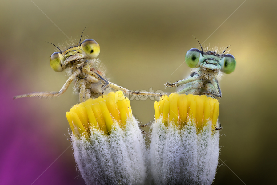 We just wanna play drums by Alberto Ghizzi Panizza - Animals Insects & Spiders ( zygoptera, bugs, damselfly, funny, play, couple, drums,  )