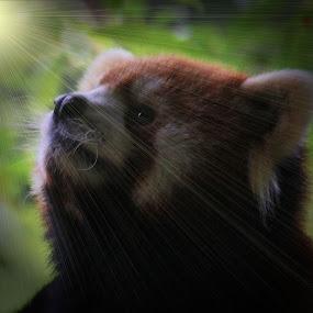 Meditating Red Panda by Richard Moyen - Animals Other Mammals ( red, panda, cute, red panda, light, nose, rays )