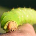 Polyphemus Moth Caterpillar
