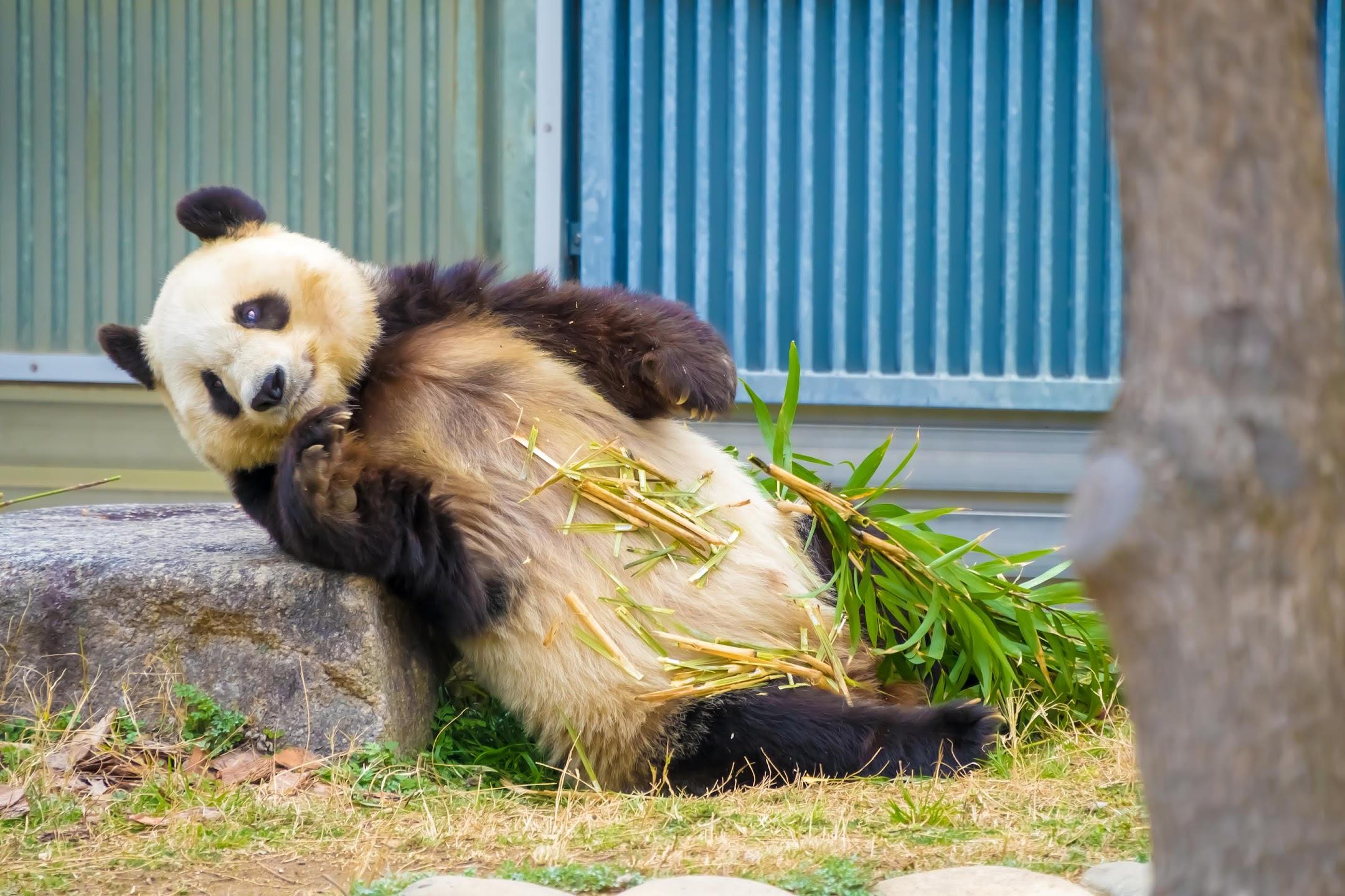 Kobe Oji Zoo giant panda4