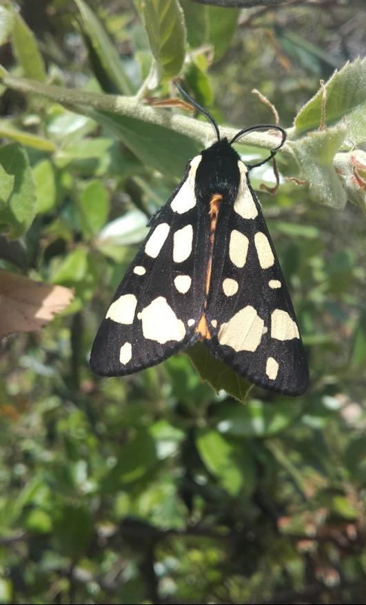 Cream-spot Tiger