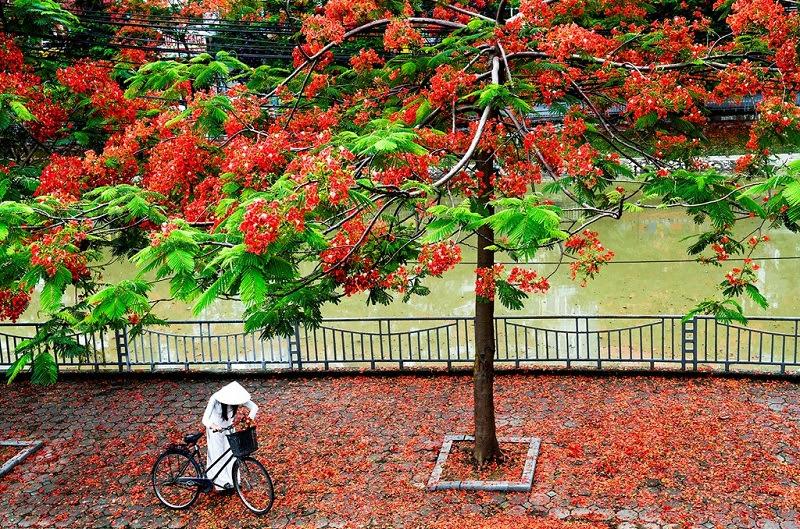 Hoa phượng - rực rỡ sắc màu - Du học Thành Á Đông.