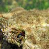 Cangrejo ermitaño / Hermit crab