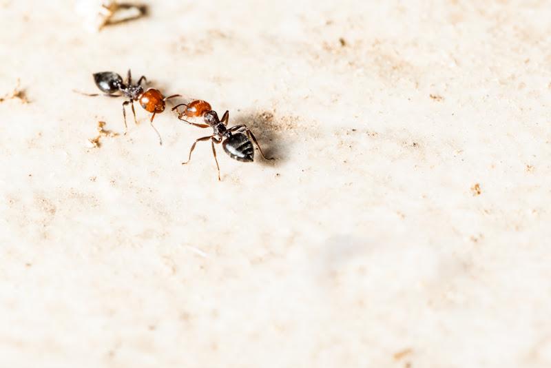 Coppia di formiche di Dario Lo Presti