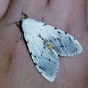 Salt marsh moth *Aberration*