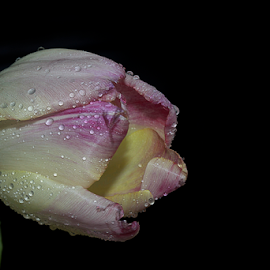 colorful tulip with the water drops by LADOCKi Elvira - Flowers Single Flower ( nature, colorful, color, flora, tulip, plants, sunshine, flowers, garden, floral )