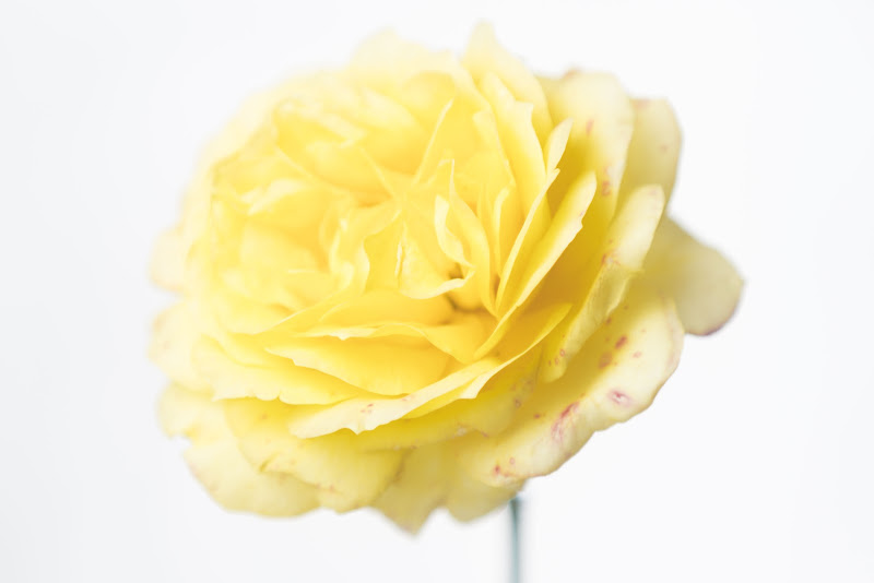 Light Yellow Rose di Cperso