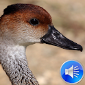 Duck Sounds Ringtones icon