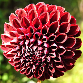 Dahlia by Carol Leynard - Flowers Single Flower ( dahlia, tuber, petals, flower )