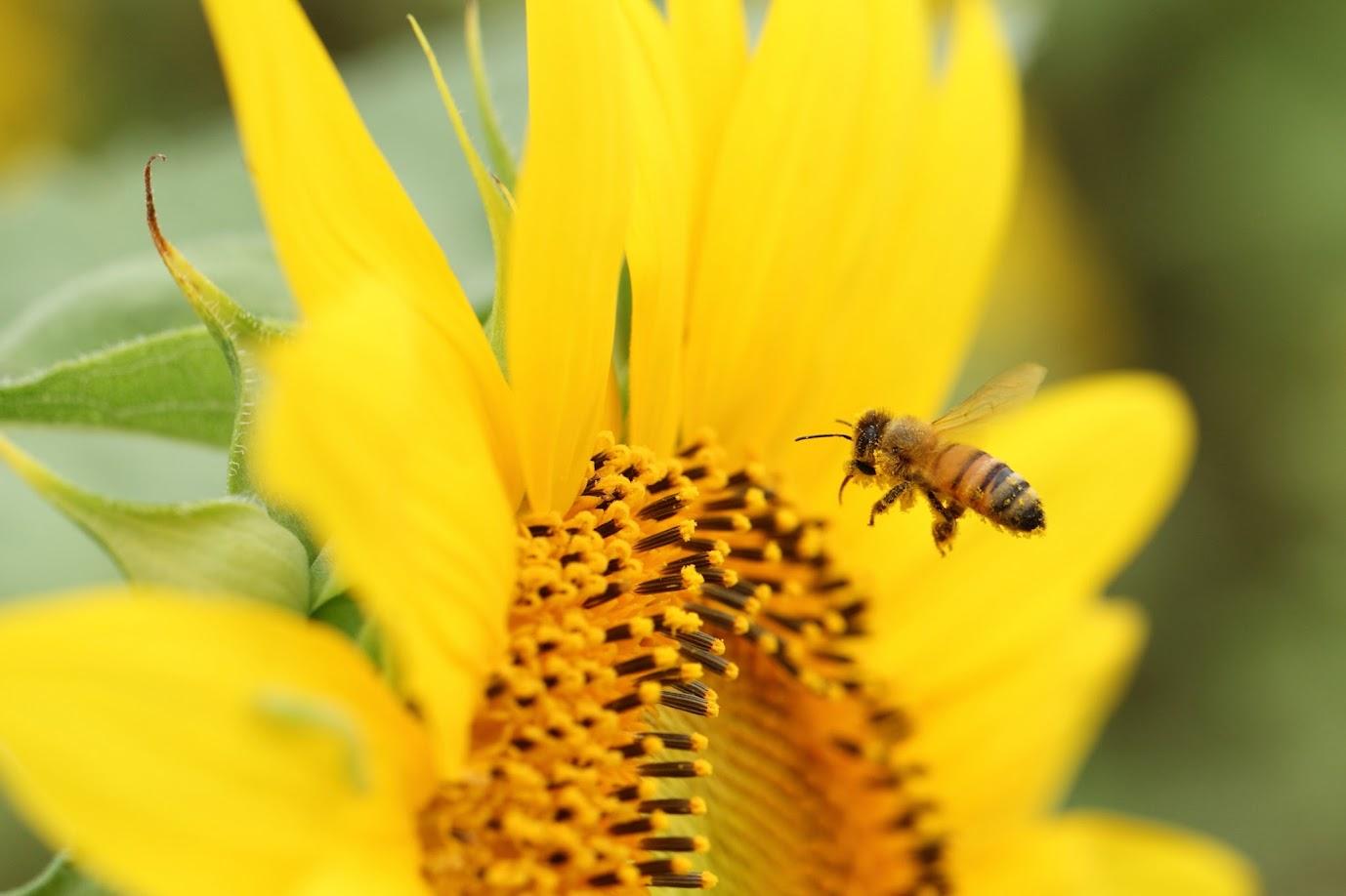黄色の花粉をまとった蜂