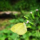 Sri Lanka One Spot Grass Yellow