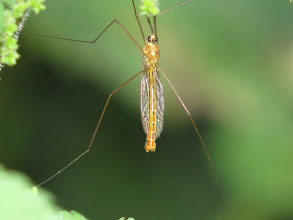 Photo: 16 Jul 13 Priorslee Lake: Underside of a crane fly (Tipula sp.): a less-often seen view! (Ed Wilson)