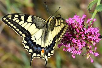 Photo: Macaone (Papilio machaon L.) su Valeriana rossa