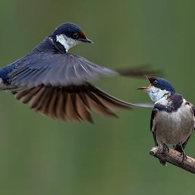 A Little Squabble by Richard Wicht - Animals Birds ( wild animal, wild, south africa, wildlife, swallowtail, birds, bird in flight, bird, wild life, nature, swallow, africa, bif,  )