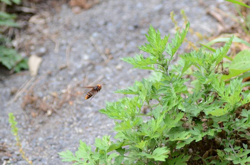 Photo: ハチも活発に活動です。あまり会いたくはないのですが・・・・・・
