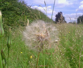 Photo: A large dandelion on it's way to seeding more of the verge with vitamin C for the wabbit's gnashers