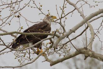 Photo: Shades of Texas Eagle