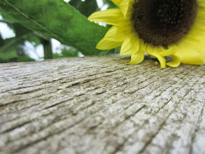 Photo: Sunflower resting on an old wooden fence at Cox Arboretum in Dayton, Ohio.