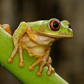 Ready to Leap by David Knox-Whitehead - Animals Amphibians ( frog, green, amphibian, frogs, amphibians, eyes )