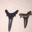 Sand Shark Tooth?