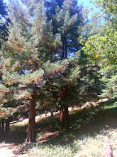 Photo: Redwoods