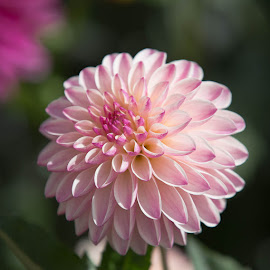 Good Morning by Janet Marsh - Flowers Single Flower ( pink, dahlias )