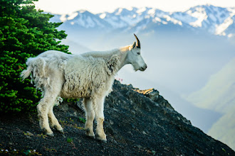 Photo: Jarvie the Wildlife photographer??  I played Wildlife photographer this morning.  Wait til you see the two little baby goats ... But this one was just too scenic not to post.  I think it's about time for me to leave the Olympic National Park and start heading down to the Portland area. I'll be in the bay area by about mid-week.