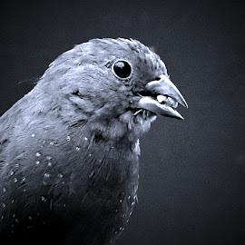 Finch by Pieter J de Villiers - Black & White Animals