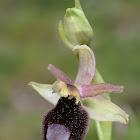 Sicilian Bee Orchid