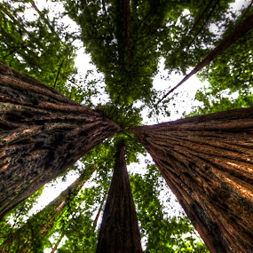 Redwoods by Chip Bolcik - Nature Up Close Trees & Bushes
