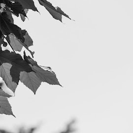 LEAVES... by Anuvab Ghosh - Black & White Flowers & Plants ( canon, monochrome, black and white, zoom, beautiful, pixoto, leaves, photography, amazing, blackandwhite, eos, sky, tree, nature, india, natural )