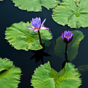 Tropical Water Lilies by Dan Allard - Nature Up Close Gardens & Produce ( water, lily, purple, lilies, pwcflowergarden-dq )