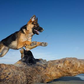 Baby Hope by Joseph Balson - Animals - Dogs Running ( play, beach, german shepherd, dog, jump, hope,  )