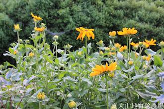 Photo: 拍攝地點: 梅峰-溫帶花卉區 拍攝植物: 金光菊 拍攝日期: 2014_07_27_FY