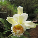 Golden Mouth Sobralia