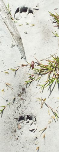 unknown mammal tracks