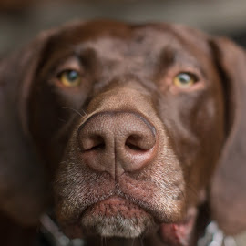the nose knows by Meaghan Browning - Animals - Dogs Portraits ( german shorthaired pointer, pointer, serious, nose, close up )