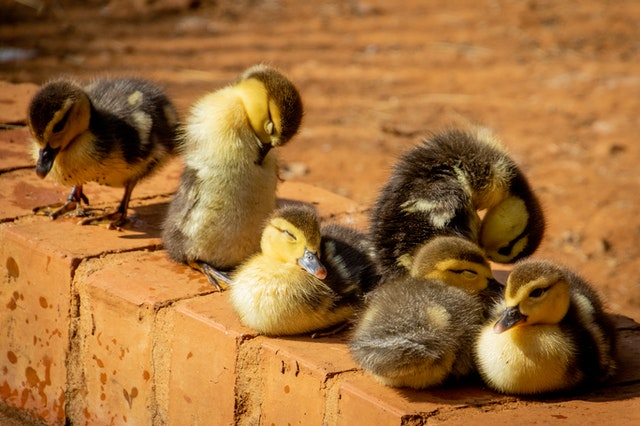 Ducklings enjoying the sun