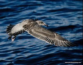 Photo: Fledgling Western Gull over Monterey Bay.