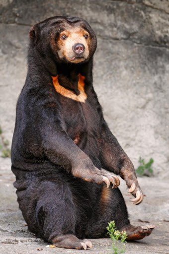 A female sun bear