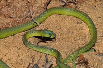 Photo: snake Dipsadoboa viridis was feeding on frog eggs
