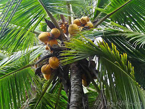 Photo: King Coconut Matale Sri Lanka  Flowers Spices & Fruits At Bawa's Place Matale Sri Lanka by Lou Wilson http://www.youtube.com/watch?v=nvgc_SYJgeY&list=UUOWXy3pH6EQJsCMU4_wseBA&index=4&feature=plcp