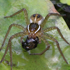 Six-spotted Fishing Spider (Eating a Tadpole)