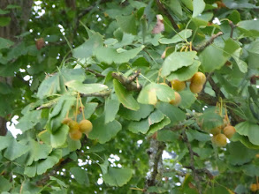 Photo: ginkgo biloba femelle