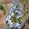 Ozark Blue Star