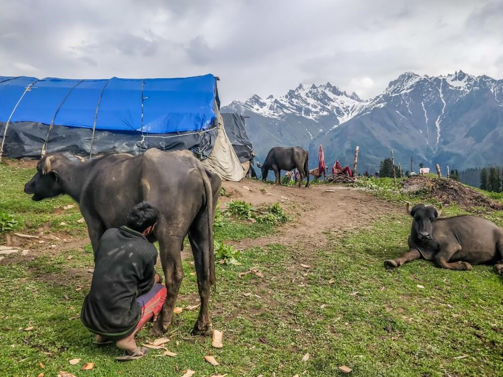 shepherd+milking+cow+bunbuni+kheerganga+parvati+valley+himachal+pradesh